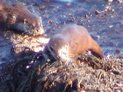 Otters on the shore